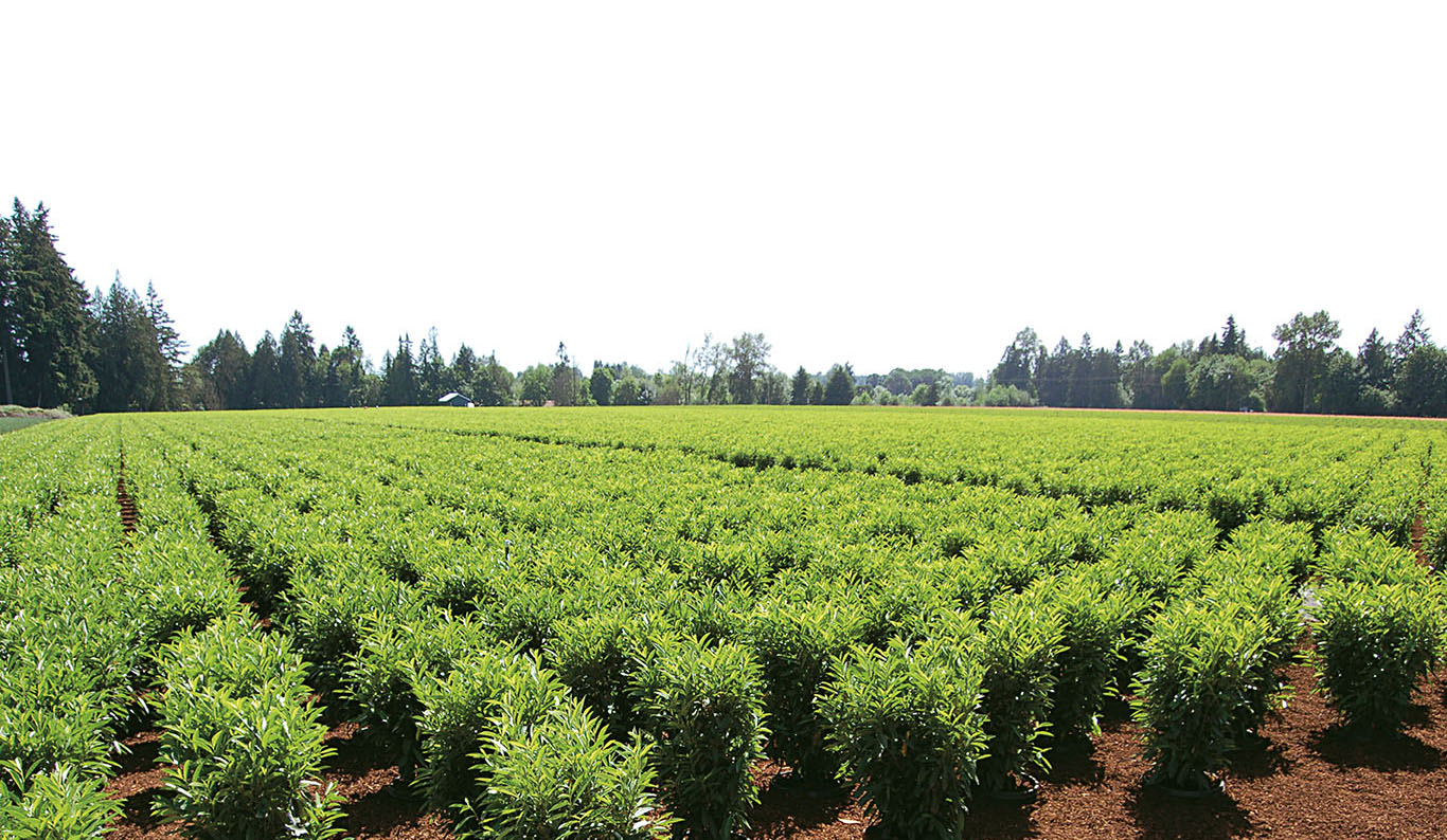 Woodburn Nursery Azaleas